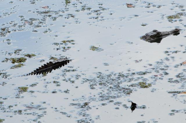 Cocodrilo en lago Calamito, Panamá