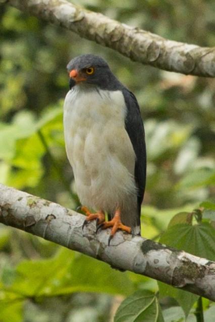 Un gavilán dorsiplomizo en el Panama Rainforest Discovery Center